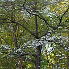 Dogwood In My Yard by MotherNature