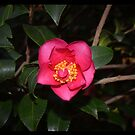 Rose by CJMcFarlane