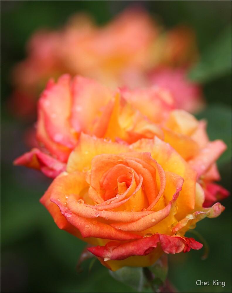 Roses Three by Chet  King