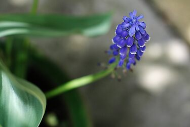 Grape Hyacinth by Astrid Ewing Photography