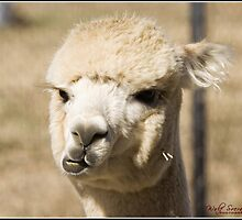 Alpaca at One Tree Hill Alpacas by Wolf Sverak