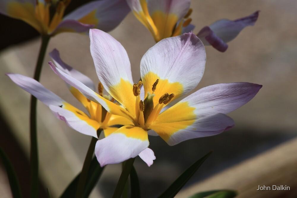 Lilac Lily by John Dalkin