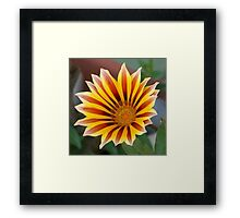 Single Flower Close Up Gazania Red Stripe Framed Print
