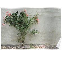 Rose bush Poster