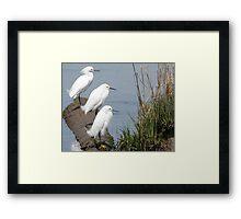 Snowy Egrets Framed Print