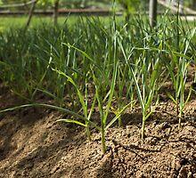 green onions by slavikostadinov