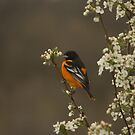 Male Baltimore Oriole by Jean Martin