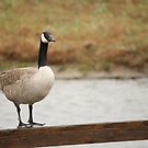 Canada Goose by Jean Martin