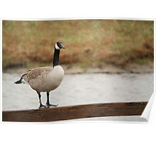 Canada Goose Poster