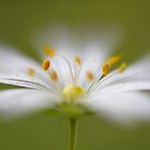 Softly Stitchwort by Mandy Disher