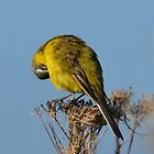 Yellow Wagtail - maintenance by Peter Wiggerman