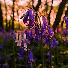 Sunset Bluebells by JEZ22