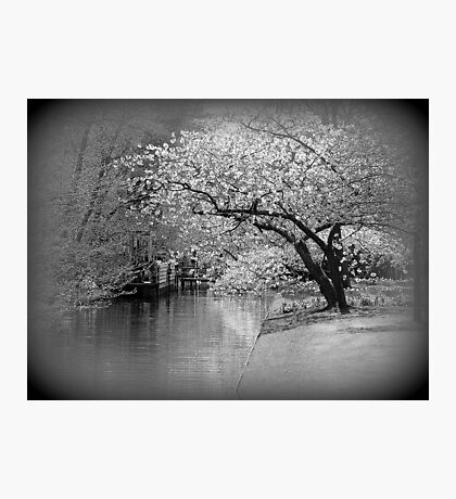 White Flowering Japanese Cherry Tree Photographic Print