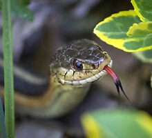Common Garter Snake  by Mikell Herrick
