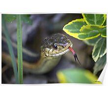 Common Garter Snake  Poster