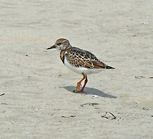 Ruddy Turnstone Wading Bird - Arenaria interpres by MotherNature