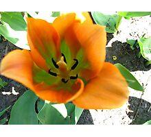 Energetic tulip Photographic Print