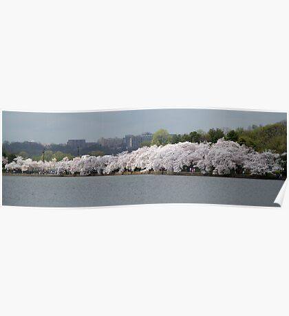 A Thin Line Of Cherry Blossom Trees Poster