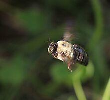 Carpenter Bee  by Okeesworld