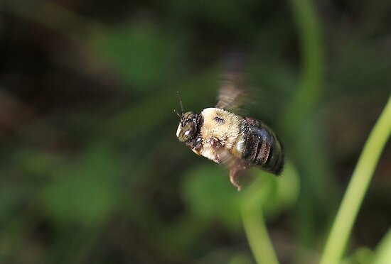Carpenter Bee  by Okeesworld