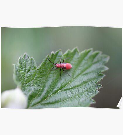 Box Elder Bug Nymph Poster