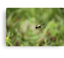 Carpenter Bee keeping watch. Canvas Print