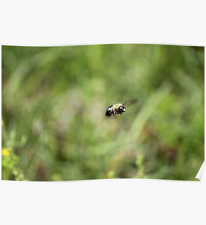 Carpenter Bee keeping watch. Poster