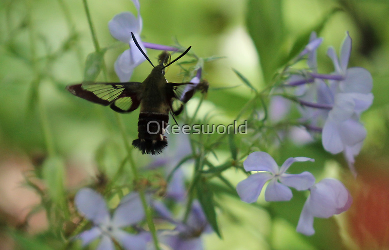 Hummingbird Clearwing Moth by Okeesworld