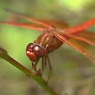 CALIFORNIA DRAGONFLY by Betsy  Seeton
