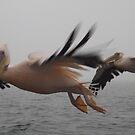 Flight of the Pelicans by Pauline Adair