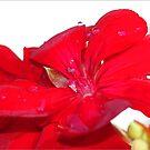 Geranium Mummum by Chet  King