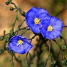 Wild Blue Flax by Arla M. Ruggles