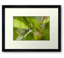 Pieris napi Framed Print