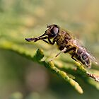 European hoverfly (Eristalis pertinax) by Bob Daalder
