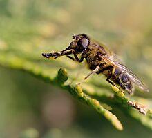 European hoverfly (Eristalis pertinax) by Bob Daalder