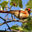 Northern Cardinal by Dennis Cheeseman