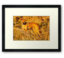 Dingo (Canis lupus Dingo) Framed Print