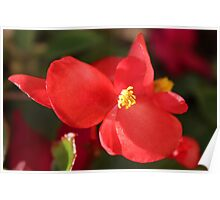 Begonia in Red Poster