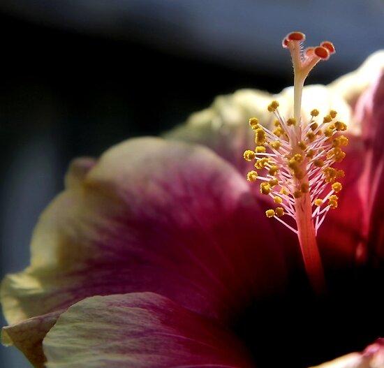 Stamen, Hibiscus by SuddenJim