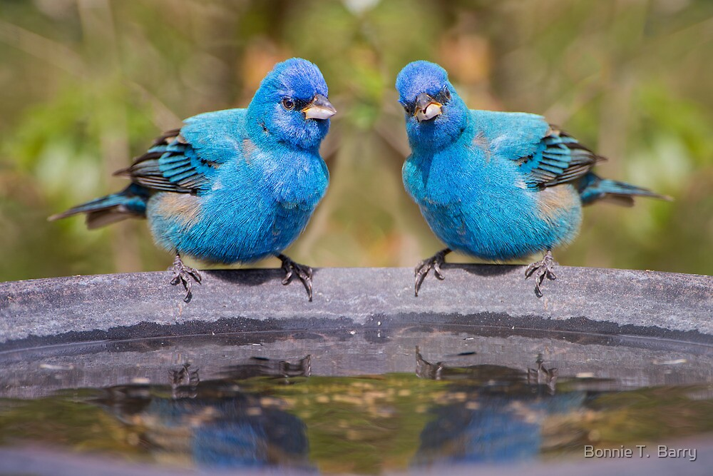 Indigo Buntings at the Birdbath by Bonnie T.  Barry