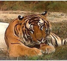 Lazy Tiger Photographic Print