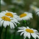 A Daisy A Day by Brenda Burnett