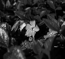 VINCA MINOR by Redtempa