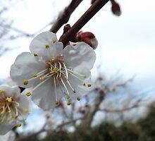 Apple Blossoms Macro 2 by lornakay