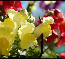Red and Yellow Snapdragons II by BlessedbyGaia