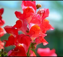 Red Snapdragons I by BlessedbyGaia