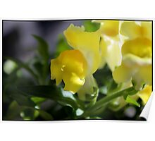 Yellow Snapdragons I Poster