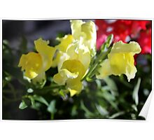 Yellow Snapdragons II Poster