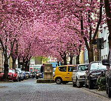 Rows of cherry blossom trees in full bloom on Heerstrasse (cherry blossom avenue) in Bonn in Germany by Prashant Agrawal