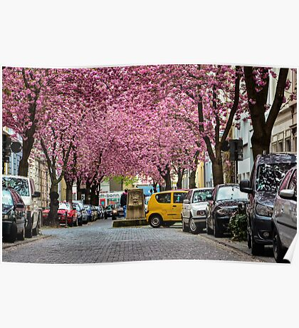 Rows of cherry blossom trees in full bloom on Heerstrasse (cherry blossom avenue) in Bonn in Germany Poster